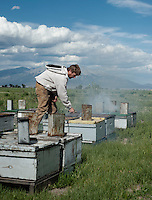 Bee keeper for Grampa's Gourmet Brent Edelen (cq) works in his field near Alamosa, Colorado, June 1, 2012. Bee keeping has been in Edelen's family for over six generations, originating in Switzerland...Photo by MATT NAGER