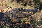 Brazoria County, Damon, Texas; the headshot of a large adult American Alligator laying on the road at the edge of the slough, warming itself in the late afternoon sunlight