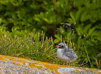 Small downy Arctic Tern Chick standing on rock