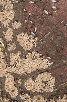 Schwarze Wegameise, Nest mit Eiern und Arbeiterinnen mit kleinen Männchen und geflügelten Tieren, Mattschwarze Wegameise, Schwarze Gartenameise, Schwarzgraue Wegameise, Lasius s.str., evtl. Lasius niger, black garden ant, Common Black Ant