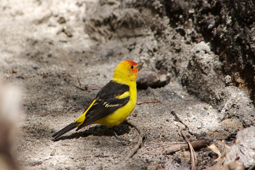 WESTERN TANAGER HUNTING INSECTS