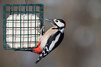 Buntspecht, Männchen an der Vogelfütterung, Fütterung im Winter bei Schnee, Fettfutter, Energiekuchen, Winterfütterung, Bunt-Specht Specht, Dendrocopos major, Great Spotted Woodpecker, male, birds feeding, Pic épeiche