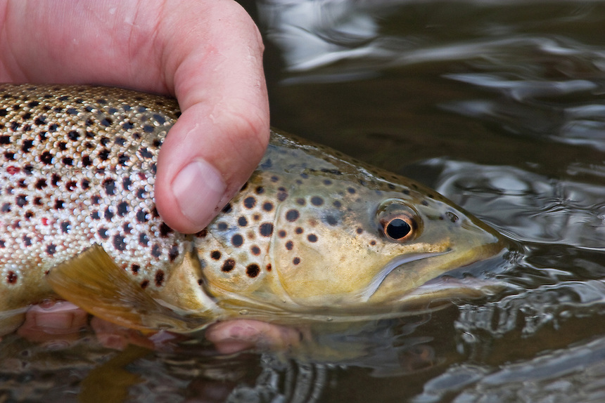 Brown Trout Current River Missouri Tom Ziegler Fly Fishing