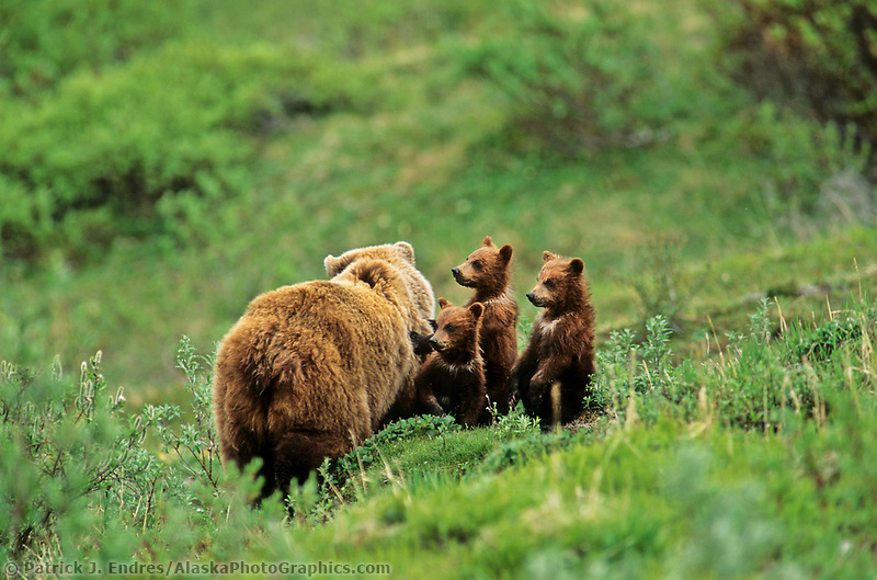 Sow grizzly bear and three (triplet) spring cubs on the green summer tundra in Denali National Park, Alaska