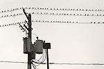 Starlings on electrical lines.