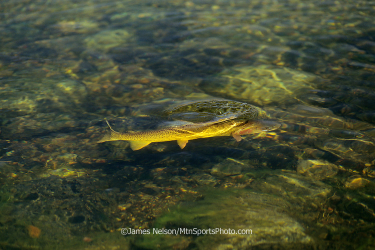 0813-K. A cutthroat trout rises to eat an insect from the surface of Slough Creek in Yellowstone National Park, Wyoming.