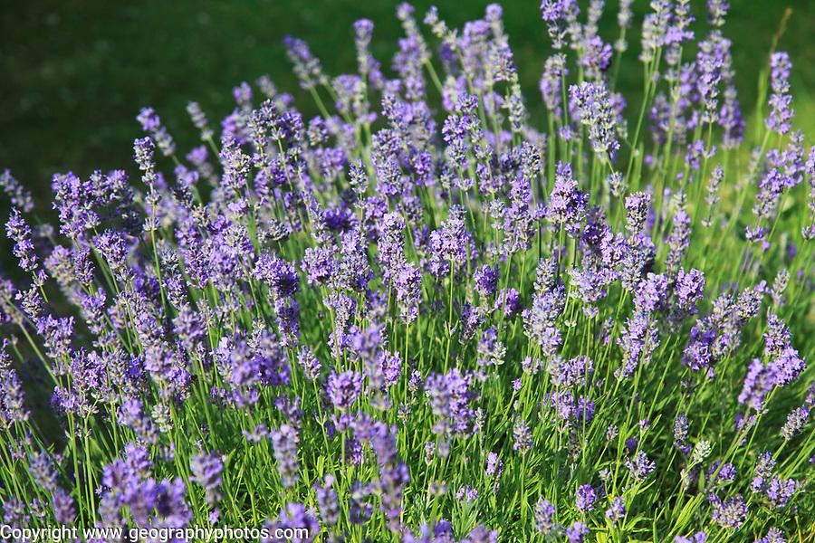 Monkstead lavender plant, Lavandula angustifolia, flowering close up, Suffolk, England, UK