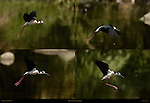 Black-necked Stilt in Flight Los Angeles River Southern California Composite Image
