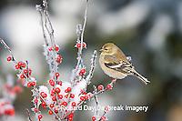 01640-155.18 American Goldfinch (Carduelis tristis) in Common Winterberry (Ilex verticillata) in winter, Marion Co.  IL