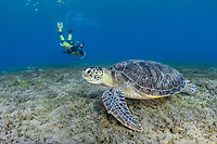 green sea turtle, Chelonia mydas, and woman snorkeler, endangered species, Wadi El Gamal National Park, Marsa Alam, Egypt, Red Sea, Indian Ocean, MR