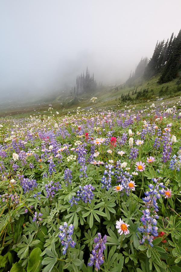 Field of wildflowers in fog, Edith Creek Basin, Paradise, Mount Rainier National Park, Washington, USA