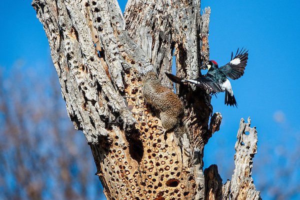 Male Acorn Woodpecker (Melanerpes formicivorus) trying to drive off/scare/harass a California ground squirrel from the woodpeckers stash (granary) of acorns.  California.  The ground squirrel is trying to steal a quick meal of acorns.
