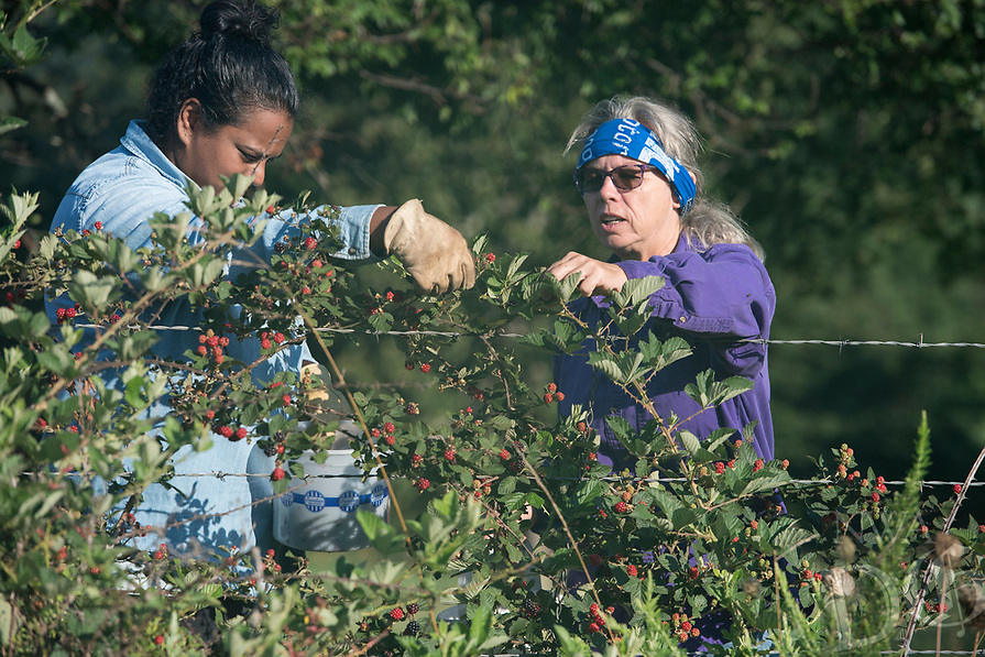 NWA Democrat-Gazette/J.T. WAMPLER Yevon Prater of Hogeye (right) picks wild blackberries with her friend Nellie Beall of Prairie Grove Monday July 10, 2017 in Hogeye. The pair spent nearly two hours to get a gallon of berries. Blackberries are usually found in July and August.