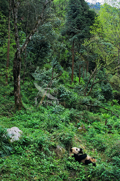 Giant Panda (AIluropoda Melanoleuca) Qionglai Mountains China, May