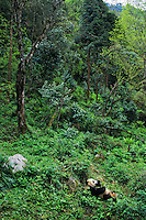 Giant Panda (AIluropoda Melanoleuca) Qionglai Mountains China, May