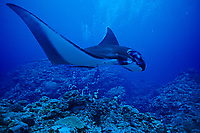 reef manta ray, Manta alfredi, Ishigaki-jima island, Ryukyu Islands, Okinawa, Pacific Ocean