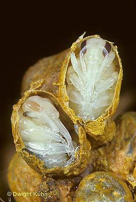 BU13-001f  Bumblebee - pupae in wax cocoon - Bombus impatiens