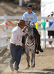 Brade Emmans rides in a zebra race at the International Camel Races in Virginia City, Nev., on Friday, Sept. 9, 2011. .Photo by Cathleen Allison