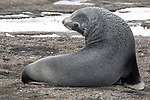 Antarctic Fur Seal, Decption Island, Antarctica