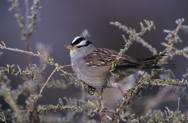 White-crowned Sparrow, Zonotrichia leucophrys,adult with frost, Bosque del Apache National Wildlife Refuge , New Mexico, USA