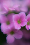 Impressionistic close-up of purple flowers