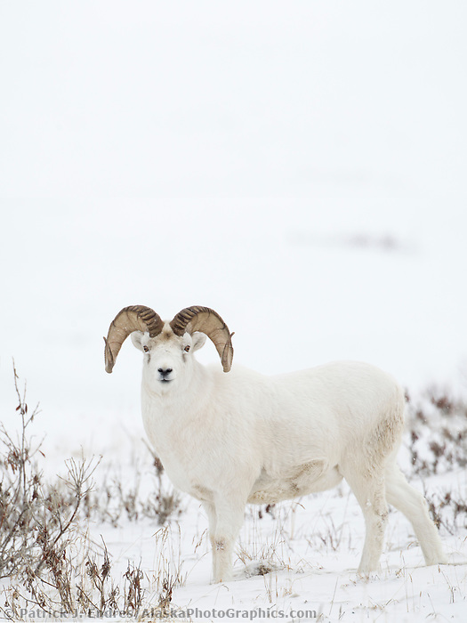 An adult, full curl dall sheep ram on the snow covered tundra of the Brooks Range mountains in Alaska's Arctic.