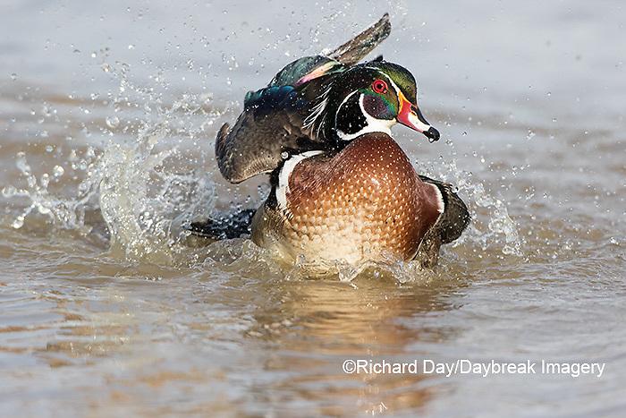 00715-09013 090.12 Wood Duck (Aix sponsa) male bathing in wetland, Marion Co., IL