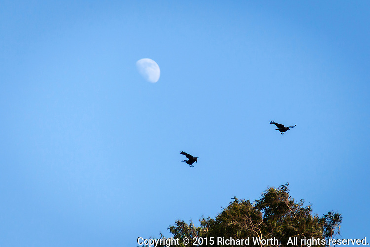 A pair of American crows flitted back and forth as if playing tag above the trees and under the waxing gibbous moon.