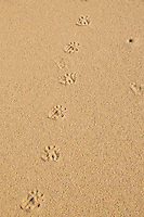 Unidentified tracks in the sand, possibly from a fox or coyote.