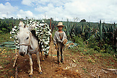 Teofilandia, Bahia State, Brazil; young boy sisal worker in ragged clothes with a donkey loaded with sisal.