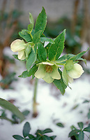 Helleborus orientalis Hellebore flowering in winter snow