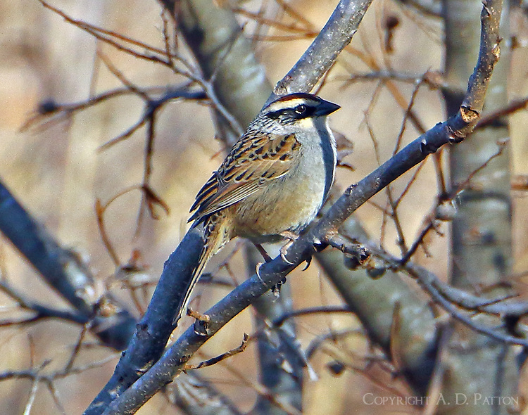 Striped sparrow. The striped sparrow is endemic to the highlands of NW and central Mexico but this individual was discovered on January 11, 2015 on CR 248 beside the San Gabriel River in Williamson County, TX. Since that time the bird has been seen by many and this series of photographs was taken at about 3:30pm on January 15. The bird is consorting with many other sparrows at the location but is usually seen only briefly. It is not known if this individual has strayed naturally from its usual habitat or is an escaped cage bird.<br />