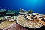 extensive hard coral meadow Cendrawasih Bay