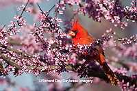 01530-20402 Northern Cardinal (Cardinalis cardinalis) male in Eastern Redbud (Cercis canadensis) in spring, Marion Co., IL