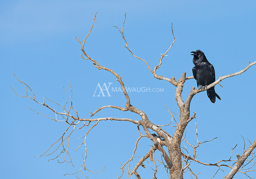 A raven calls to its mate.