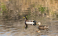 Male and female Mallards, Anas platyrhynchos, swimming at Lower Klamath National Wildlife Refuge, Oregon