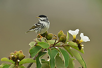 Blackpoll Warbler (Dendroica striata), male perched on blooming Mexican olive (Cordia boissieri), South Padre Island, Texas, USA