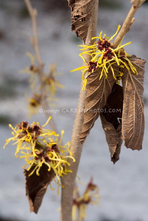 Yellow and red winter flowers of Hamamelis intermedia aka mollis 'Pallida'