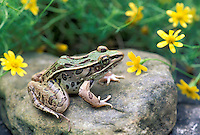 Leopard frog on rock surrounded by dainty yellow flowers