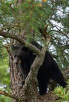 Black bear in tree in Pocosin NWR near Pettigrew State Park, NC