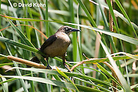 0916-0909  Juvenile Great-tailed Grackle, Quiscalus mexicanus © David Kuhn/Dwight Kuhn Photography