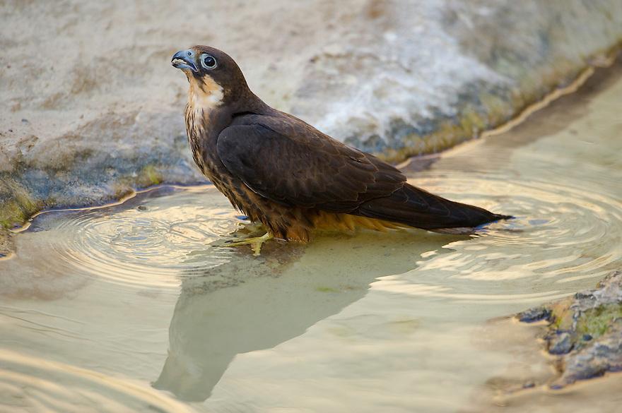 Eleonora's falcon (Falco eleonorae), Antikythera, Greece