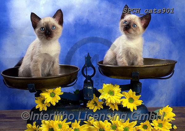 Xavier, ANIMALS, REALISTISCHE TIERE, ANIMALES REALISTICOS, cats, photos+++++,SPCHCATS901,#a#, EVERYDAY
