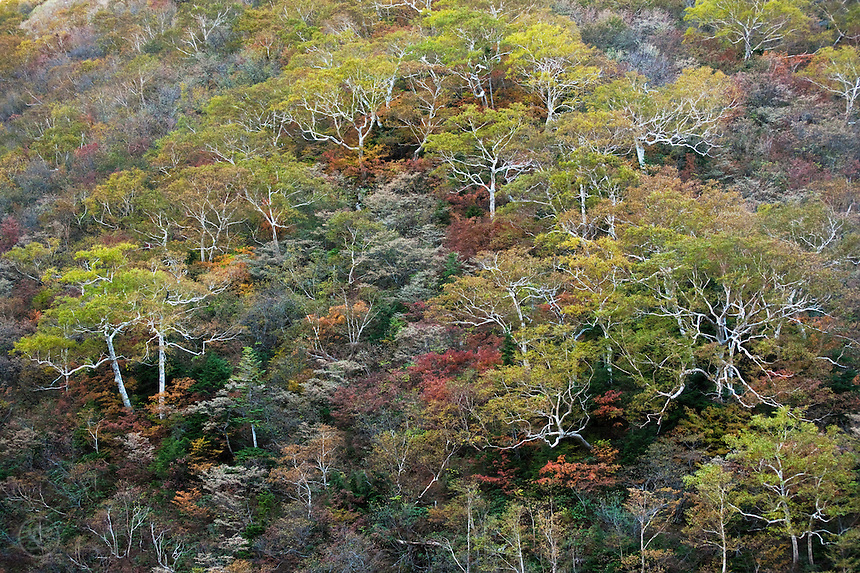 Autumn brings an intricate brocade of colours to the lower slopes of the Hotaka Mountains in October.
