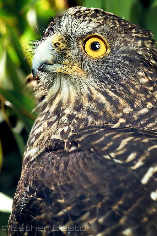 Powerful Owl (Ninox strenua) female, side view of face, head. From southeastern Australia.