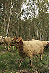 Israel, Sharon region, sheep in Park Hasharon Nature Reserve