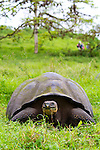 Giant wild domed tortoises on Santa Cruz Island, home to giant tortoises and the Charles Darwin Research Center, Galapagos National Park, Galapagos, Ecuador