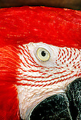 Brazil. Arara Canga, Scarlet macaw in profile; eye, cheek, beak. looking at you.