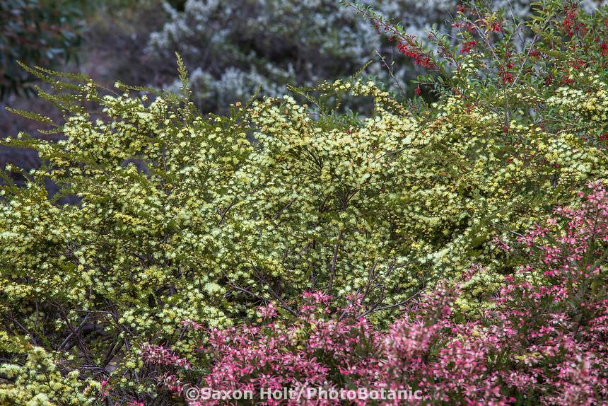 Phebalium glandulosum 'Sunsplash', Australian shrub flowering in University of California Santa Cruz Botanic Garden.