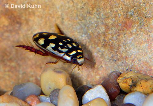 0405-1105  Sunburst Diving Beetle, Diving Beetle Swimming Underwater, Arizona, Thermonectus marmoratus  © David Kuhn/Dwight Kuhn Photography
